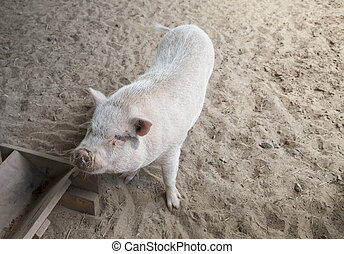 Pig - Pink pig standing standing at its food trough