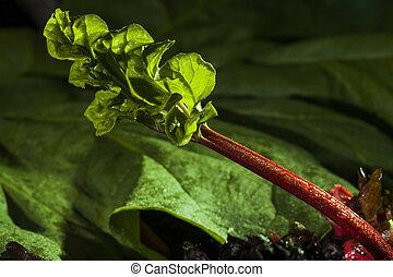 rhubarb - macrophoto