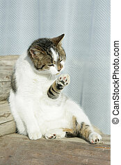 White cat cleaning its paw - Nice white cat cleaning its paw