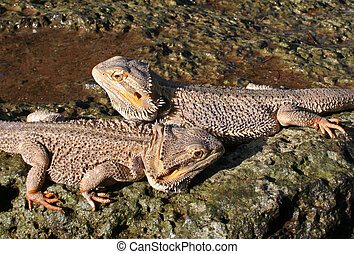 Pair of Bearded Dragons - Male and Female Bearded Dragons