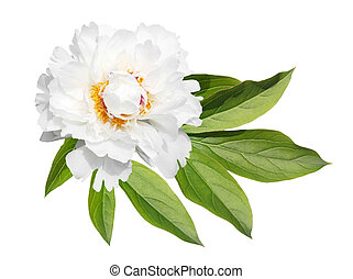 Peony with leaf - White peony flower with green leaf...