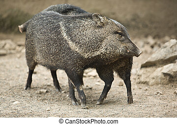 Collared peccary rub against each other