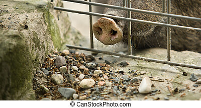 Collared peccary snout
