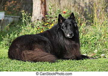 Nice groenendael lying on the garden in front of some...