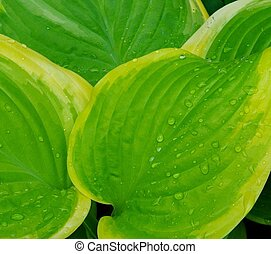 Hosta Leaf - A close up of a Hosta leaf with water droplets