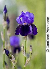 blooming iris in the garden