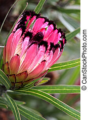 Protea burchellii, Little Ripper - Protea Burchellii Little...