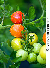 growing tomatoes on the twig