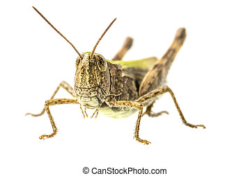 Grasshopper - Macro shot of grasshopper isolated over white...