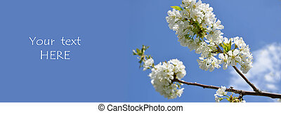 White blossom of cherry tree against blue sky