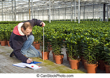 measuring the height of glasshouse plants - A man measuring...