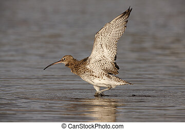 Curlew, Numenius arquata, in shallow water