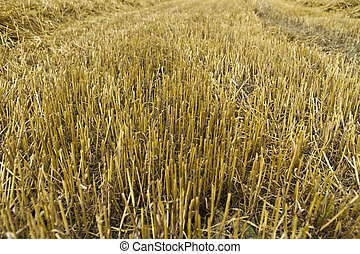 Grain harvest - barley, wheat, straw