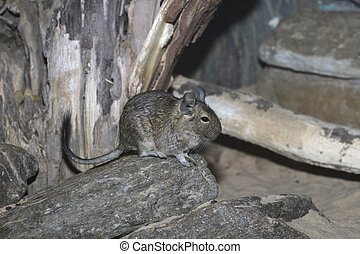 Degu, Octodon degus, native to Chile
