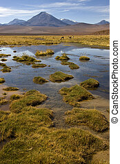 Atacama Desert - Chile - A group of Vicuna by a small lagoon...