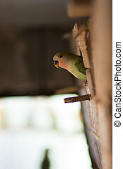 agapornis - young green agapornis looking from birdhouse