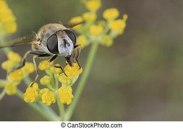 Diptera - Mouche  - Mouche  sur une fleur d'aneth