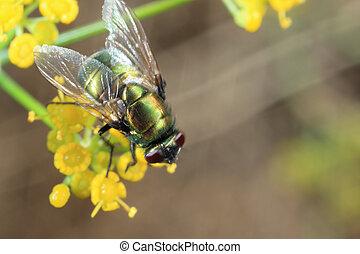 Mouche verte - Diptera - mouche verte sur une fleur d'aneth...