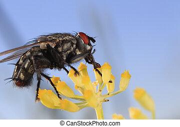 Mouche Sarcophagidae  sur une fleur d'aneth
