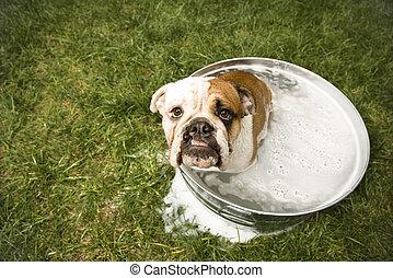 Bulldog bath. - English Bulldog looking up at viewer from...