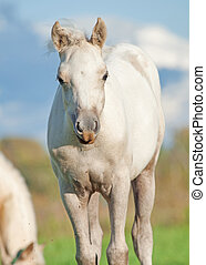 cremello  welsh  pony  foal in the pasture