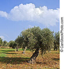 olive grove - anciant olive grove in the Galilee, Israel