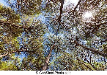 Wide angle view of pine trees with blue sky