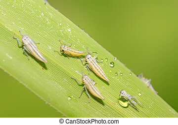 leafhopper larvae - a kind of homoptera insects larvae on...
