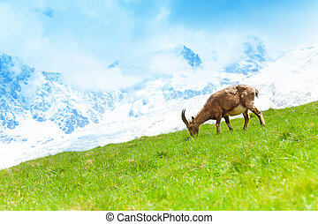Mountain goat in the pasture - One Chamois grazing on the...
