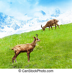 Two mountain goats - Two alpine ibex grazing on the mountain...