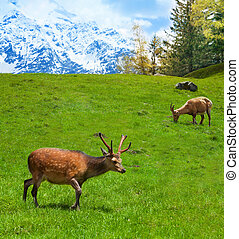 Grazing mountain goats - Two alpine ibex grazing on the...