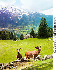 Deer on the mountain pasture - Two young deer grazing on the...