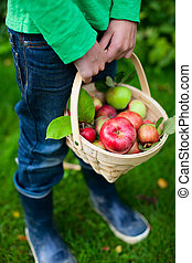 Organic apples in a basket - Little boy holding a basket...