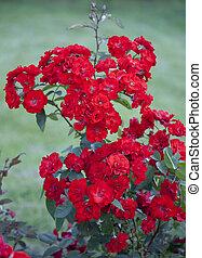 arbusto, rosas, rojo