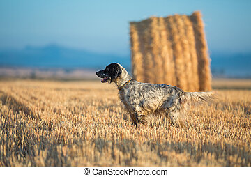 Black Dotted Setter - Side view of Black dotted setter...