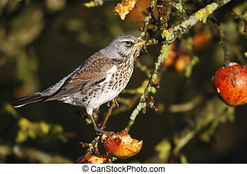 Fieldfare Turdus pilaris, on apples, Norfolk, winter...