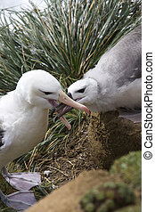 Black-browed Albatross mother feeding young - Falklands...