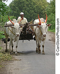 Farmer is seating in a bullock cart, Nilkantheshwar,...