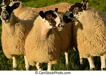 Sheep weighing up their options - A shot of two sheep with...