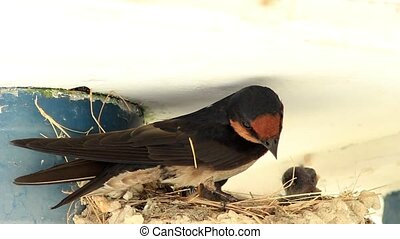 Swallow Nesting - Close up view of barn swallow bird...