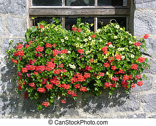 Geranium flowers in front of a traditional farmhouse in...