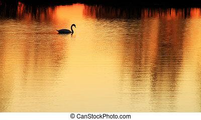 goldenes, schwan, See