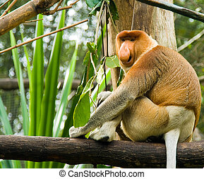 Proboscis Monkey - A proboscis monkey calls out to attract...