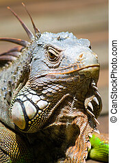 Common Green Iguana - An inquisitive, green iguana comes out...