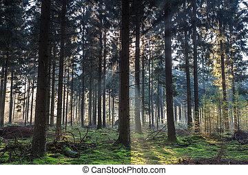 morning light shining through the trees in a forest