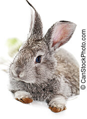Gray rabbit bunny isolated on white background