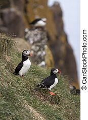 Puffins - Beautiful puffins from Iceland