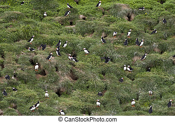 Puffins - Beautiful puffins from Iceland - nest