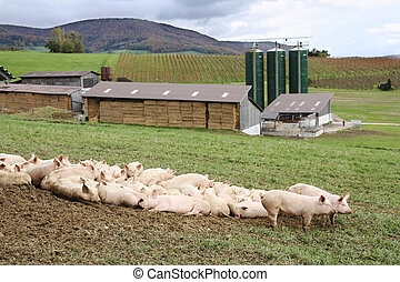 porcos, fazenda