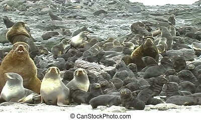 pride of sea lions - Fur seals haul out on the rocks